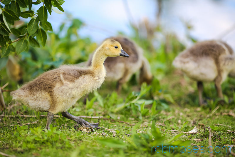2 Gosling Canadian Goose Calgary Princes Island Park Famous - Rob Moses Photography