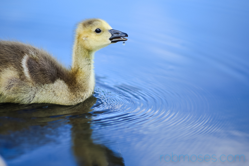 5 Gosling Canadian Goose Calgary Princes Island Park Famous - Rob Moses Photography