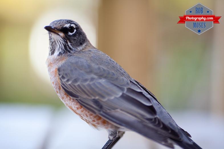 Wild bird window hit Calgary yyc city wildlife - Rob Moses Photography-1-3
