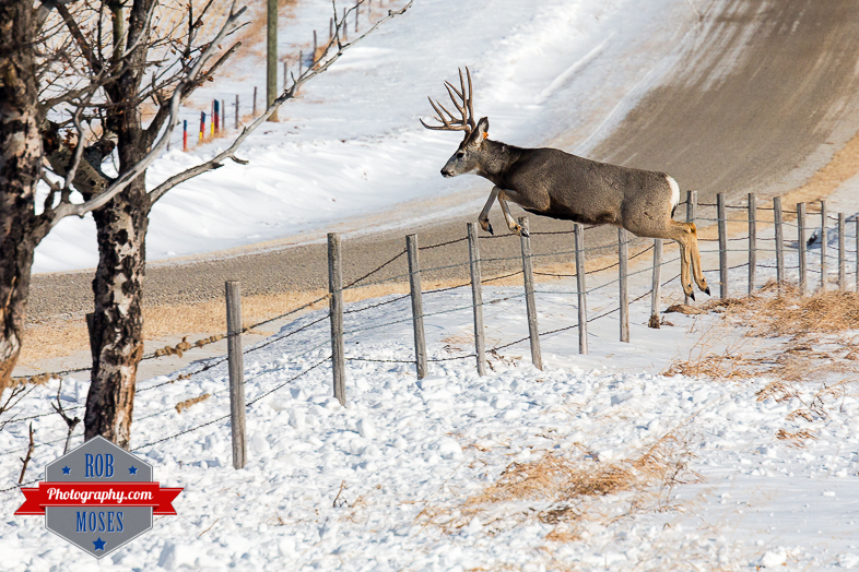 Wild Animal big elk deer jumping fence famous horns antlers amazing nature beautiful wildlife alberta canada winter - Rob Moses Photography - Vancouver Seattle Calgary Photographer-1-2