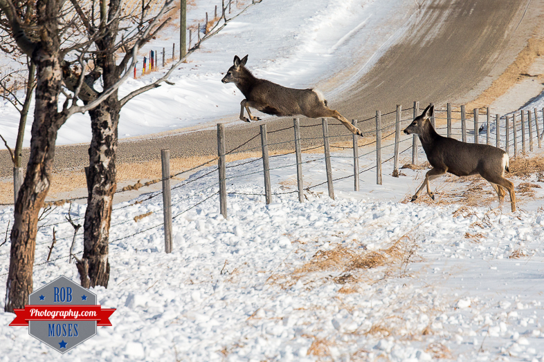 Wild Animal elk baby small deer jumping fence famous horns antlers amazing nature beautiful wildlife alberta canada winter - Rob Moses Photography - Vancouver Seattle Calgary Photographer-1-3