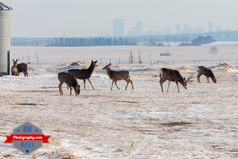 Wild Animal elk deer jumping fence famous horns antlers amazing nature beautiful wildlife alberta canada winter - Rob Moses Photography - Vancouver Seattle Calgary Photographer-1