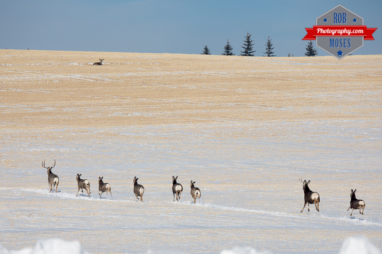 Wild group running Animal elk deer jumping fence famous horns antlers amazing nature beautiful wildlife alberta canada winter - Rob Moses Photography - Vancouver Seattle Calgary Photographer-1-4
