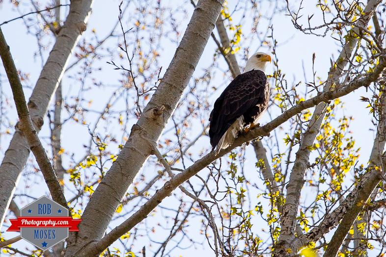 Eagle bird wild wildlife BC British Columba Casltegar wilderness amazing beautiful - Rob Moses Photography - Native American Alaskan Famous Tlingit - Seattle Top Vancouver Photographer Popular Photographers-2