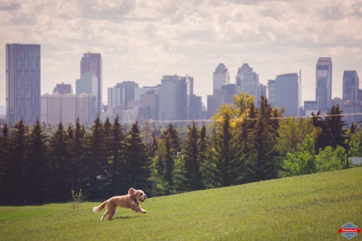 Dog doggie running fetch YYC Skyline Rob Moses Photography Calgary Photographer Photographers Native American Famous un celebrity Tlingit Ojibawa Top Popular Best Good Canadian