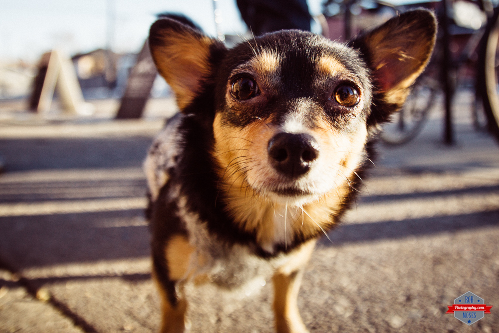 chihuahua dog Tamron 17-50mm VC T3i puppie doggie yyc bokeh Rob Moses Photography Calgary Vancouver Seattle Spokane Photographer WA BC Native American Tlingit Ojibaway famous un celebrity Canadian best cute love
