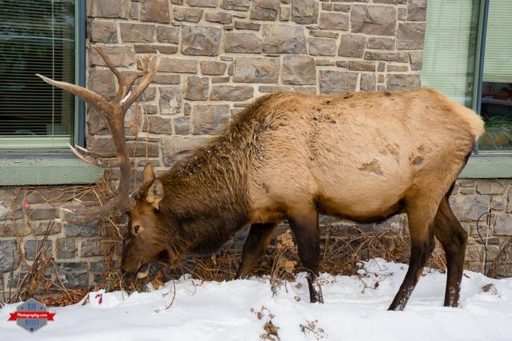 Wild animal Banff Alberta Canada crazy insane big massive huge Rob Moses Photography Calgary Vancouver Seattle Spokane Photographer WA BC Native American Tlingit Ojibaway famous un celebrity Canadian best-11.jpg