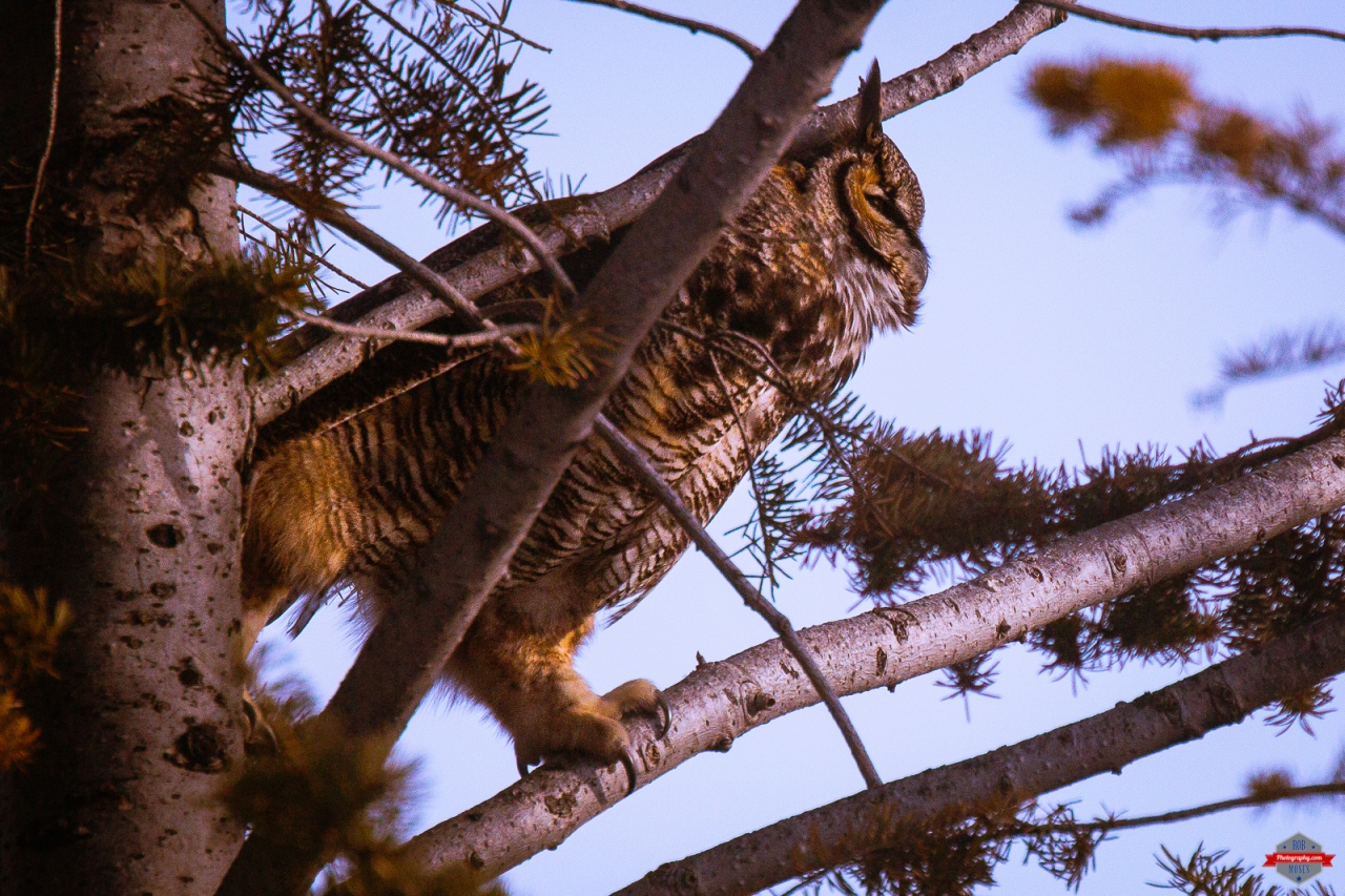 great-horned-owl-magpie-bird-friends-rob-moses-photography-portland-calgary-vancouver-seattle-spokane-photographer-wa-bc-native-american-tlingit-ojibaway-famous-un-celebrity-canadian-best-pdx-2