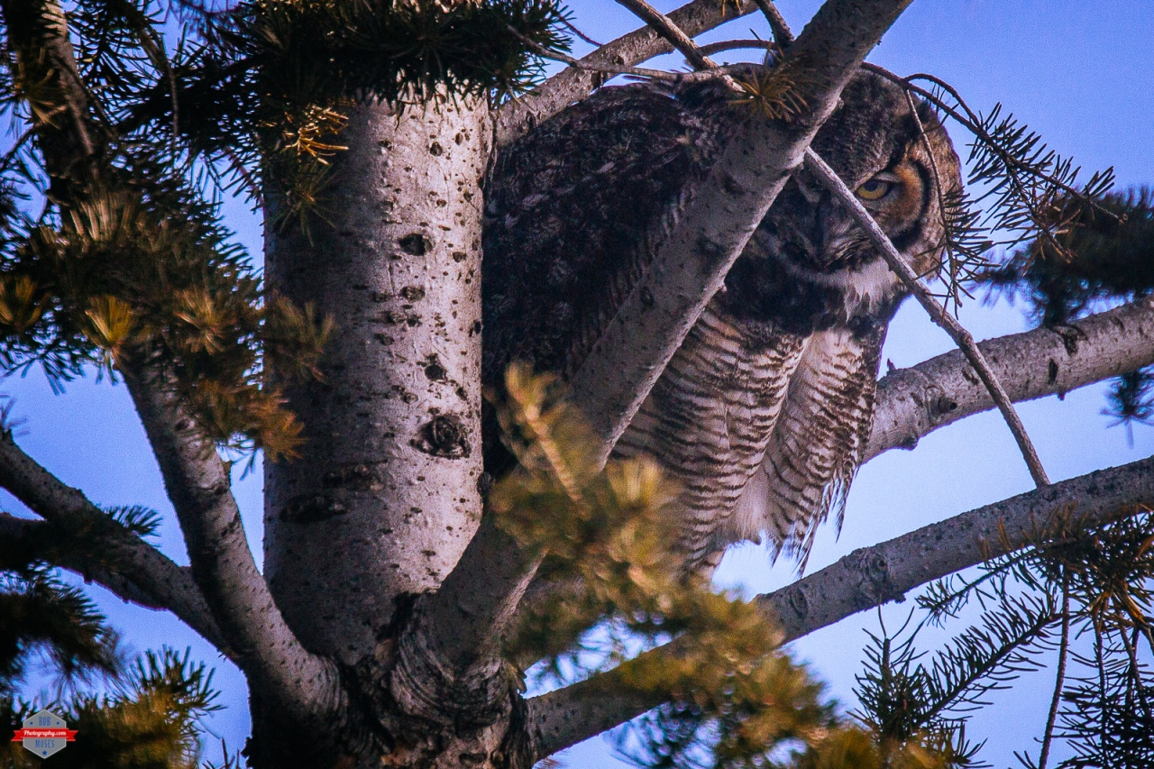 great-horned-owl-magpie-bird-friends-rob-moses-photography-portland-calgary-vancouver-seattle-spokane-photographer-wa-bc-native-american-tlingit-ojibaway-famous-un-celebrity-canadian-best-pdx-3