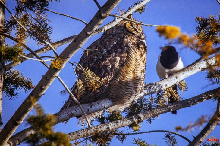 great-horned-owl-magpie-bird-friends-rob-moses-photography-portland-calgary-vancouver-seattle-spokane-photographer-wa-bc-native-american-tlingit-ojibaway-famous-un-celebrity-canadian-best-pdx