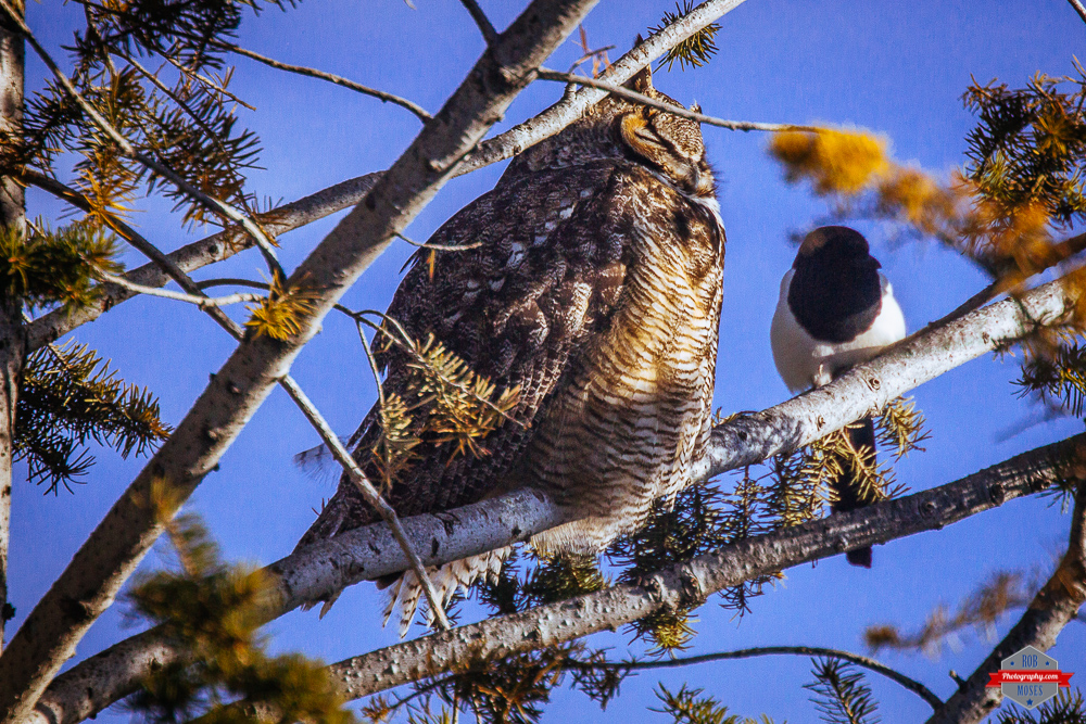 great-horned-owl-magpie-bird-friends-rob-moses-photography-portland-calgary-vancouver-seattle-spokane-photographer-wa-bc-native-american-tlingit-ojibaway-famous-un-celebrity-canadian-best-pdx-4